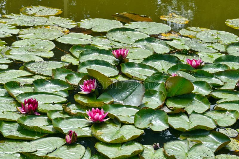 Water-lilies in a pond. lotus flowers royalty free stock photo