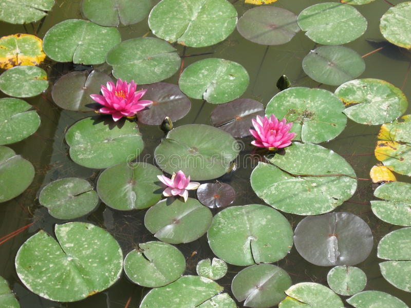 Water lilies on a pond royalty free stock images