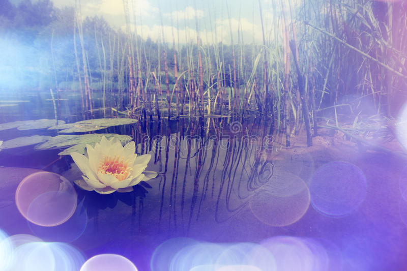 Water lilies in a pond. White lilies stock images