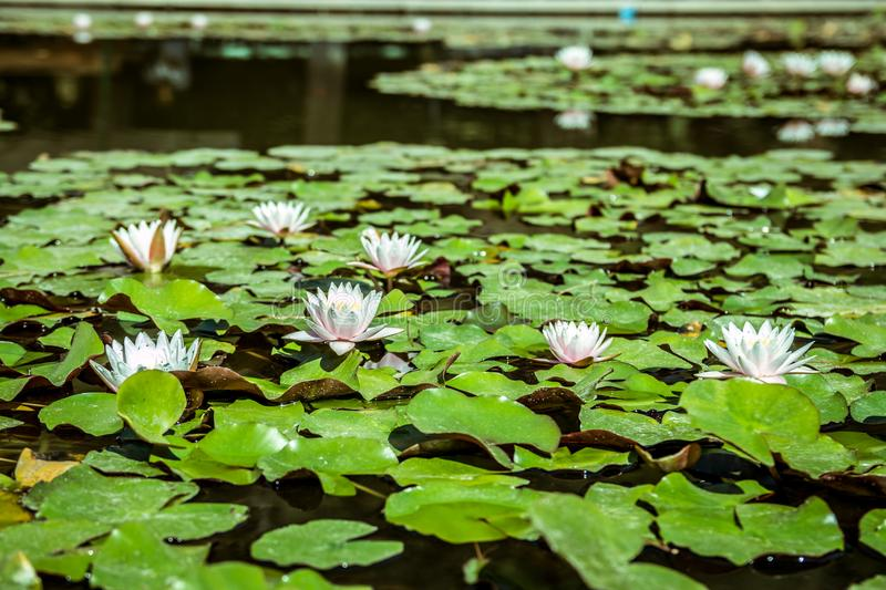 Water lilies in a pond. White flower and green leaves. Water lilies in a green surface pond. White flower and green leaves stock photo