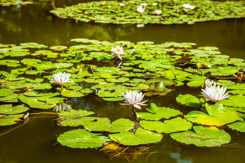 Water lilies in a pond. White flower and green leaves. Water lilies in a green surface pond. White flower and green leaves royalty free stock photography