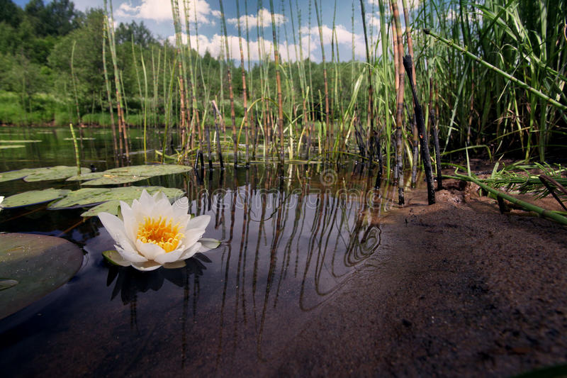 Water lilies in a pond, white lilies. Green royalty free stock photography