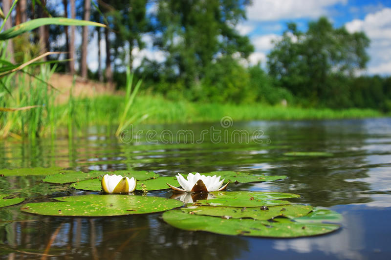 Water lilies in the river. In summer, Russia stock images