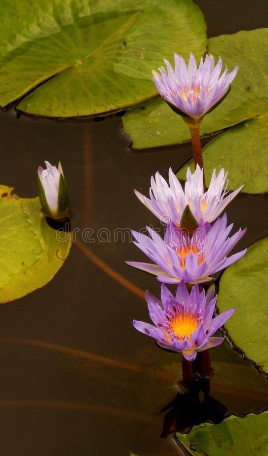 Water Lilies In A Row. Beautiful Water Lilies in a dark pond. Somerset Gift, Swellendam. South Africa stock photography