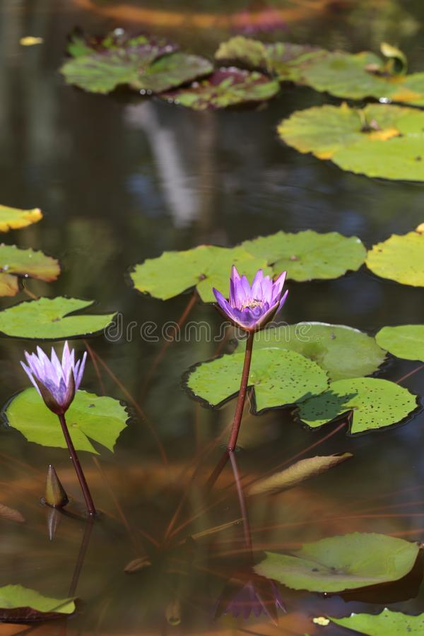 Water lilies in Siem Reap royalty free stock images
