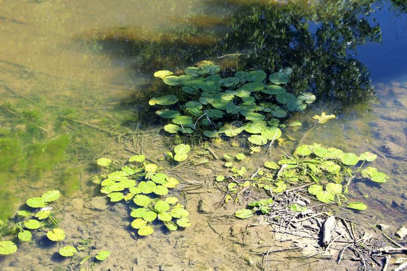 Water lilies on a small river. Water lilies Aquatic plant with broad leaves and white or yellow flowers royalty free stock photo