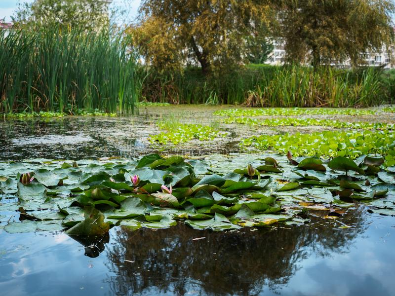 Water lilies in a small swamp. Swamp on the outskirts of the city royalty free stock photography