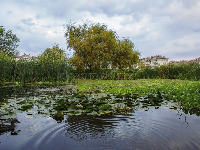 Water lilies in a small swamp. Swamp on the outskirts of the city stock photo