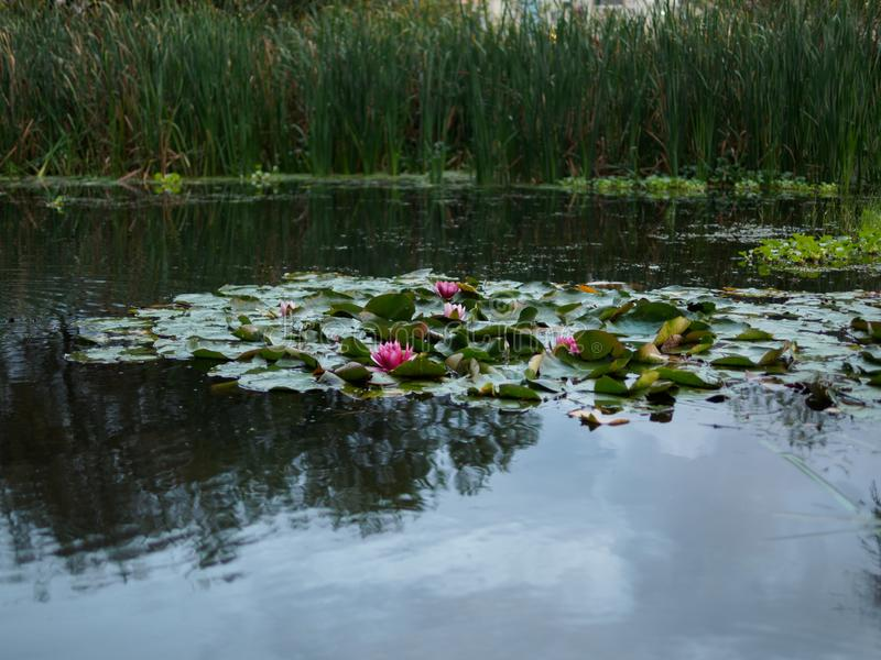 Water lilies in a small swamp. Swamp on the outskirts of the city stock image