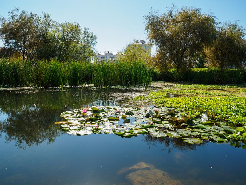 Water lilies in a small swamp. Swamp on the outskirts of the city stock photos