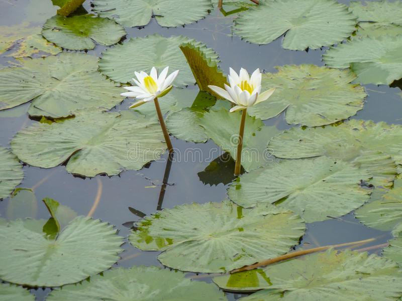 Water lilies. Some white water lilies and swimming leaves in wet ambiance stock photo