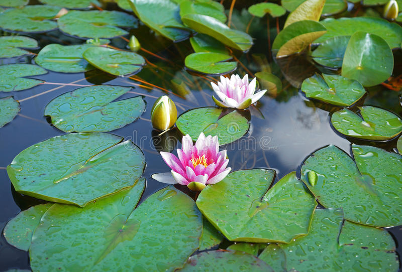 Water lilies on a sunny day. Beautiful and colofful water lilies on a sunny day stock photography