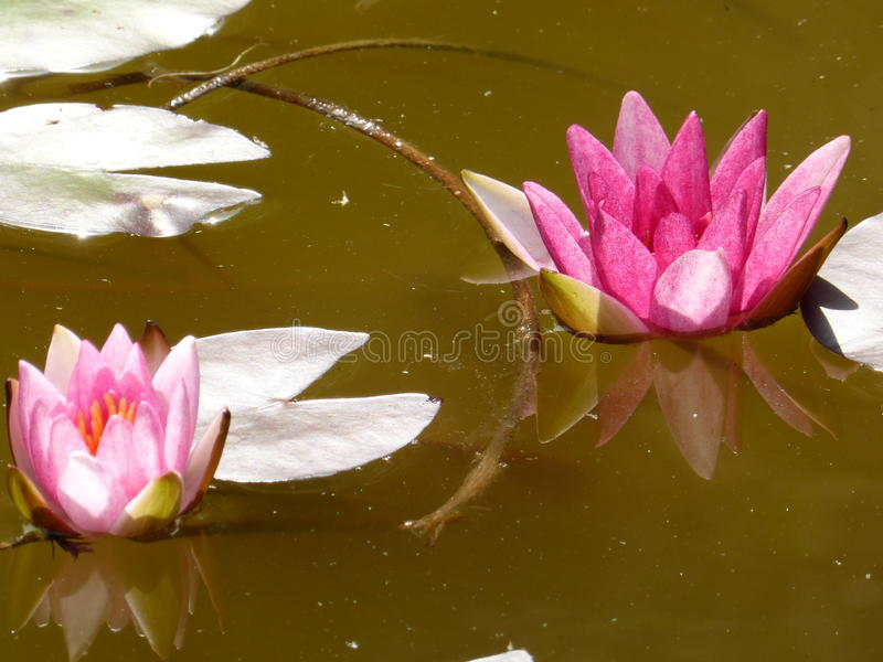 Water lilies. Two pink water lilies and three white leaves royalty free stock images