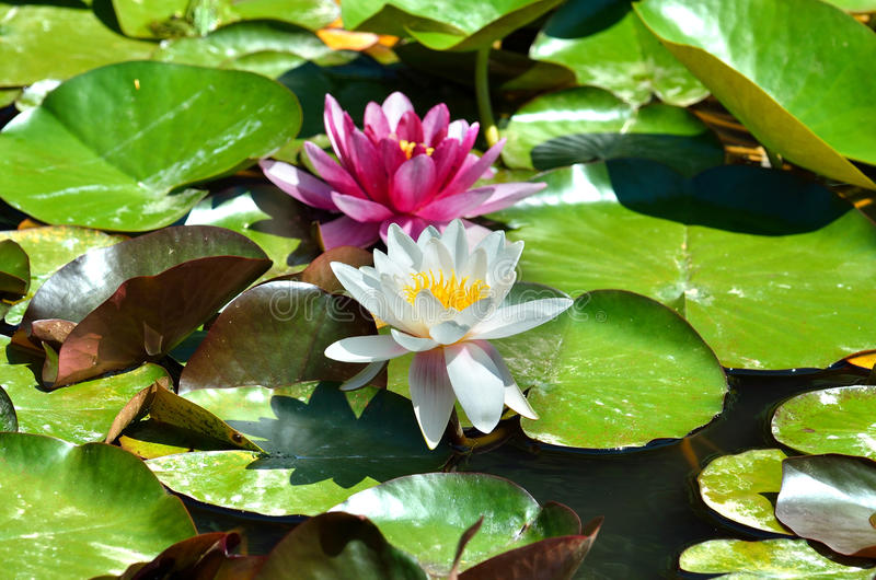 Water lilies. Two water lilies white and pink on the lake stock photos