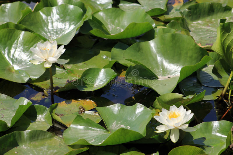 Water Lilies. Two white water lilies on the water surface royalty free stock image