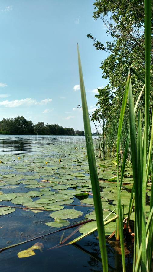 Water lilies on the water. Leaves and flowers of water lilies on the clean, reserved river Bityug in Russia stock image