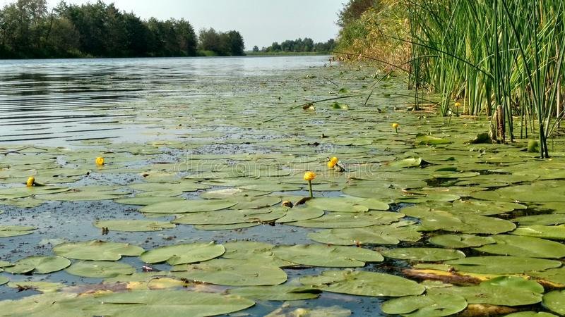 Water lilies on the water. Leaves and flowers of water lilies on the clean, reserved river Bityug in Russia royalty free stock image