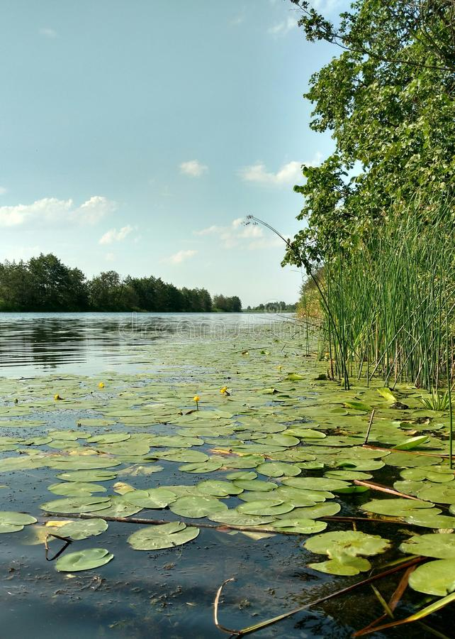Water lilies on the water. Leaves and flowers of water lilies on the clean, reserved river Bityug in Russia stock photography