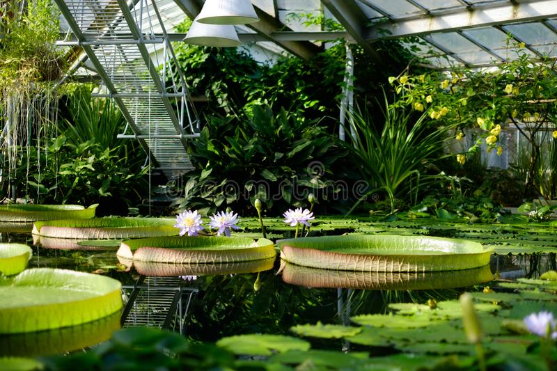 Water lilies. In the conservatory of the St. Petersburg botanical garden royalty free stock photos