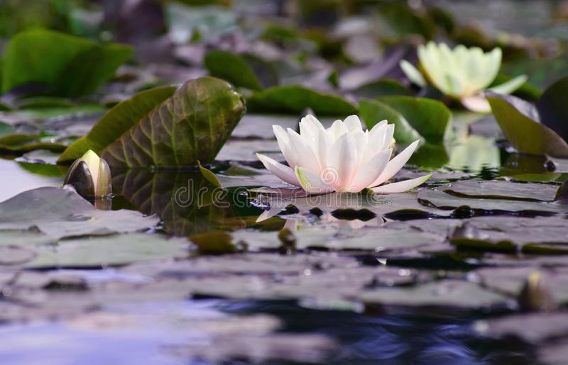 Water lilies. Waterlilies open on the surface of the still water of a lily pond royalty free stock images