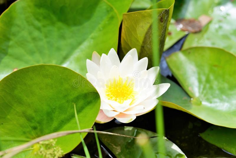Water lilies. Are a well studied clade of plants because their large flowers with multiple unspecialized parts were initially considered to represent the floral stock images