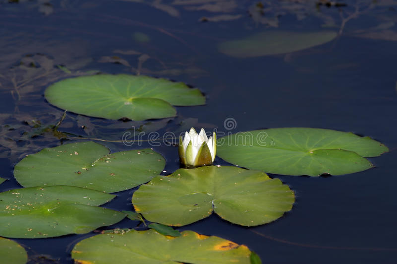 Water lilies. White water lilies in a pond in summer stock images