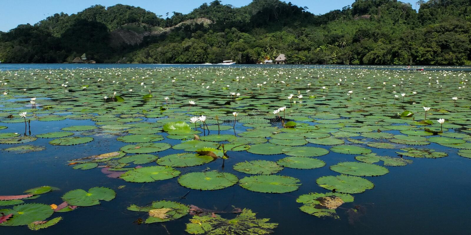 Water lilies. White water lilies on a tropical river, rio Dulce, Guatemala royalty free stock image