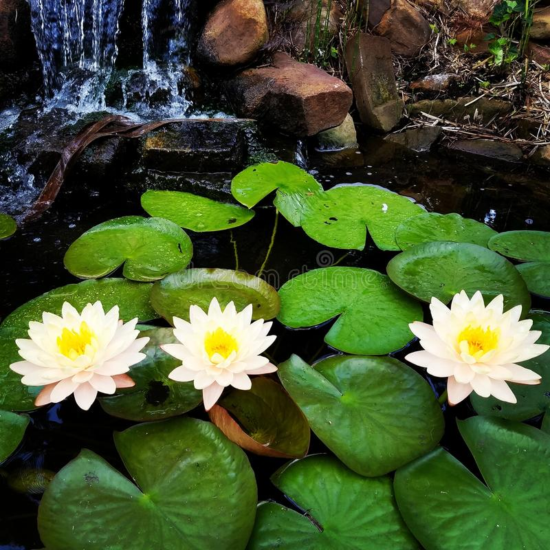 Water Lilies with Yellow Flowers. A Closeup Shot of a Tropical White Water Lily Plant Nymphaeaceae with Three Yellow Blossoms stock images