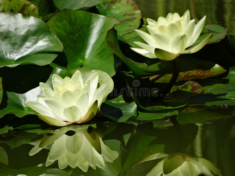 Water Liliy stock afbeelding