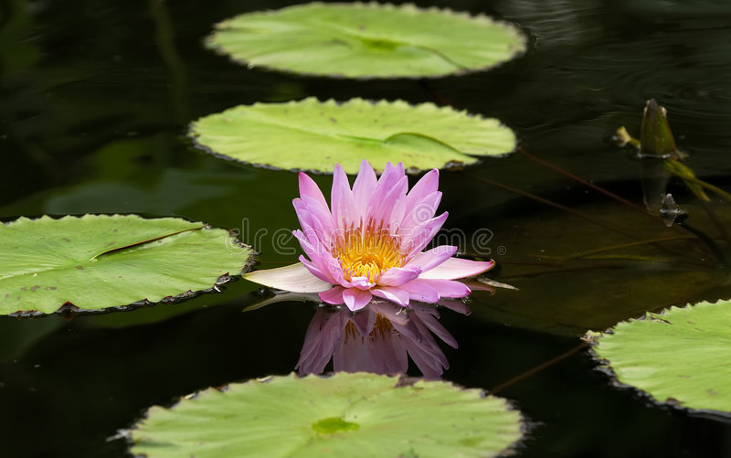 Water Lillie stock photo