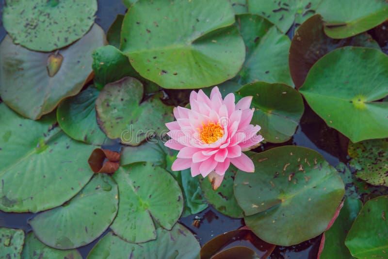 Water lillies en meer Bloemen en blad Aard en water royalty-vrije stock foto