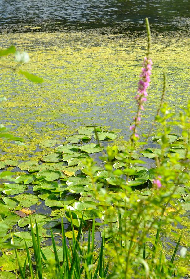 Water lily pads in green pond in sunshine with pink flower royalty free stock photos