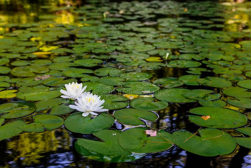 Water lillies and lily pads on river. Water lillies or lotuses on a shaded, calm area of water on a sunny summer afternoon stock image