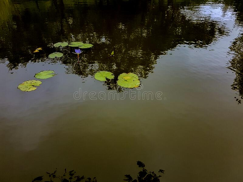 Water lilies in a water pool stock photography