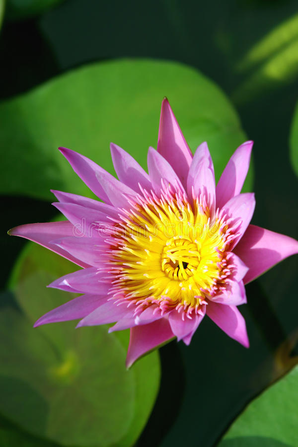 Download Water lilly stock image. Image of lily, pond, purple - 11514901