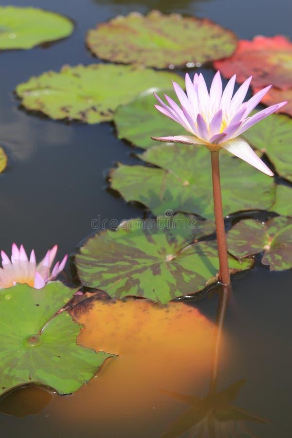 Water lilly stock afbeeldingen