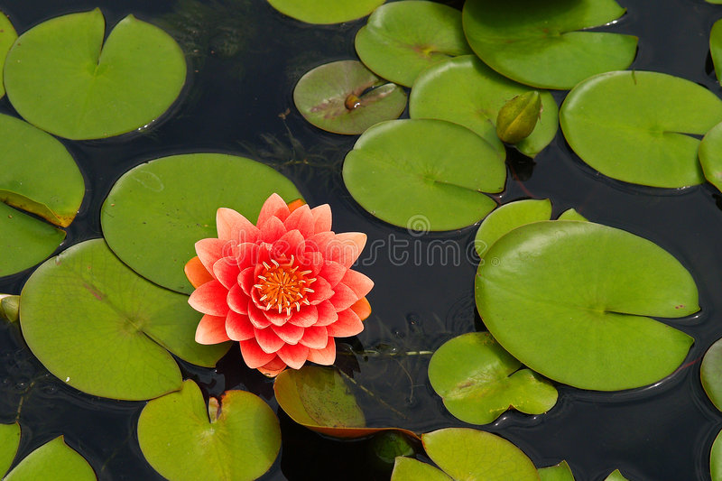 Download Water Lilly Stock Images - Image: 1421364