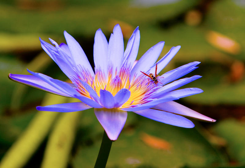 Download Water Lilly Stock Photography - Image: 22787062