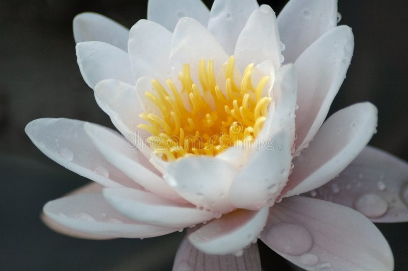 Water Lilly. royalty-vrije stock fotografie