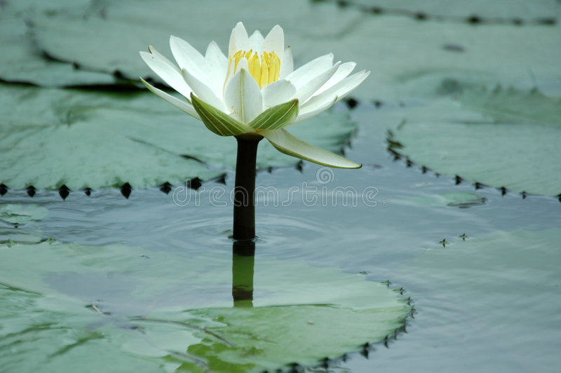 Water Lilly. royalty-vrije stock foto's