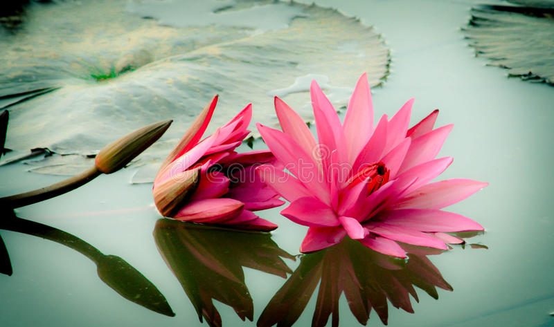 Water lilly stock foto's