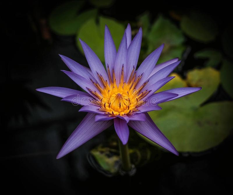 Water lilly royalty-vrije stock foto's