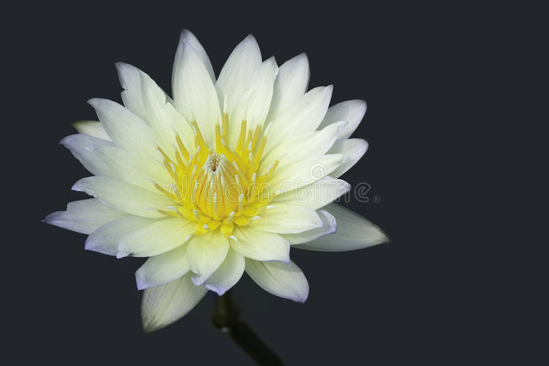Water lilly as object royalty free stock photos