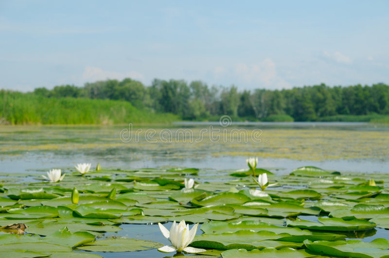 Water lilly blossoms stock images