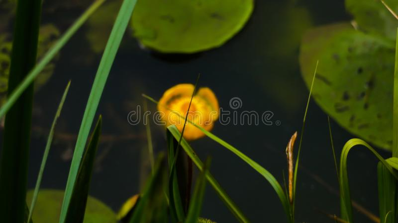 Water Lilly coming out of the shadows royalty free stock image