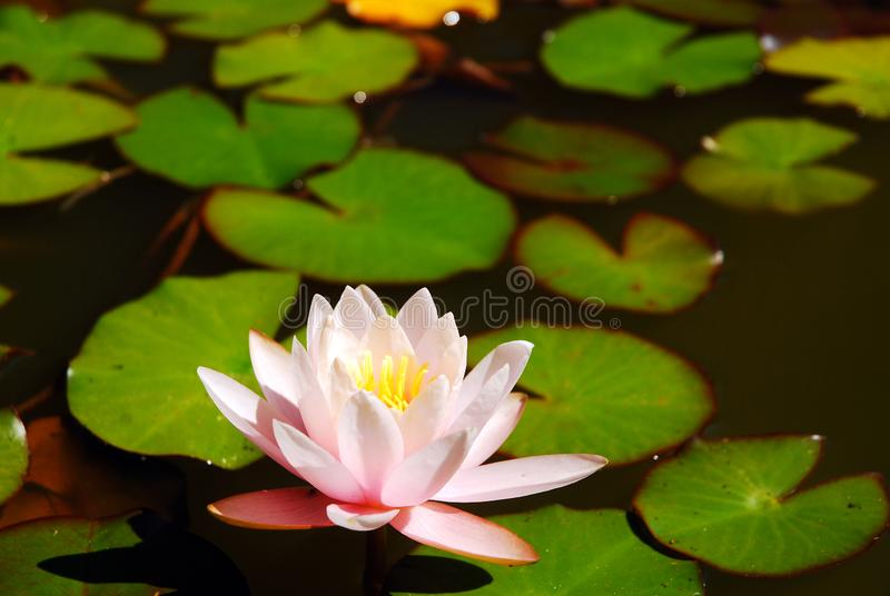 A water lily grows in a decorative pond stock images