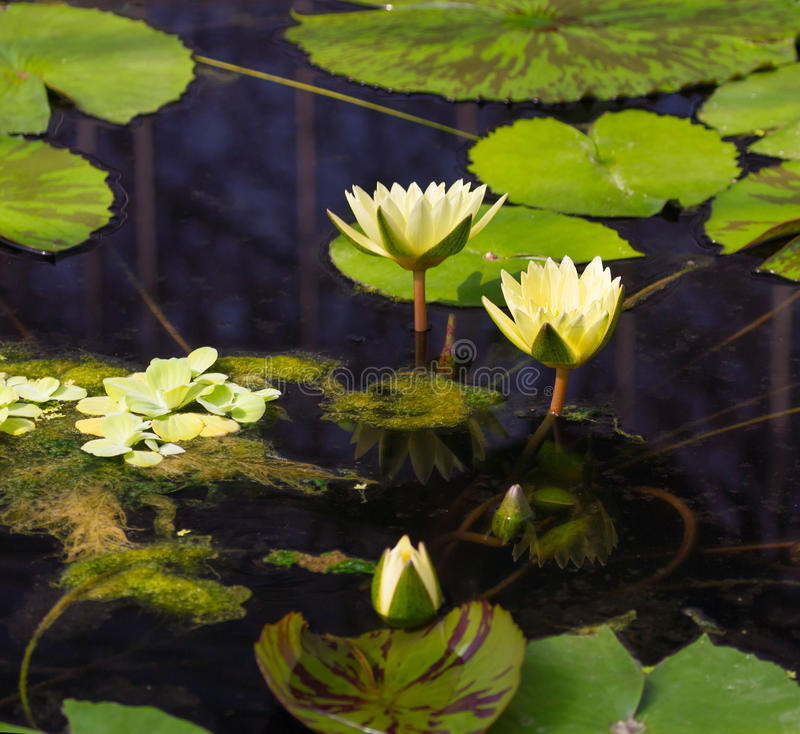 Download Water lilly stock image. Image of outdoors, background - 36228947