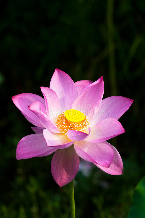 Free Water Lily Royalty Free Stock Photos - 10221538
