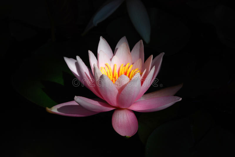 Download Water Lily stock image. Image of close, harmony, image - 10599657