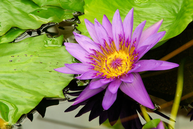 Water lily. Purple water lily, flower in lake stock photo